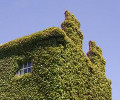 Green house with growing ivy.
